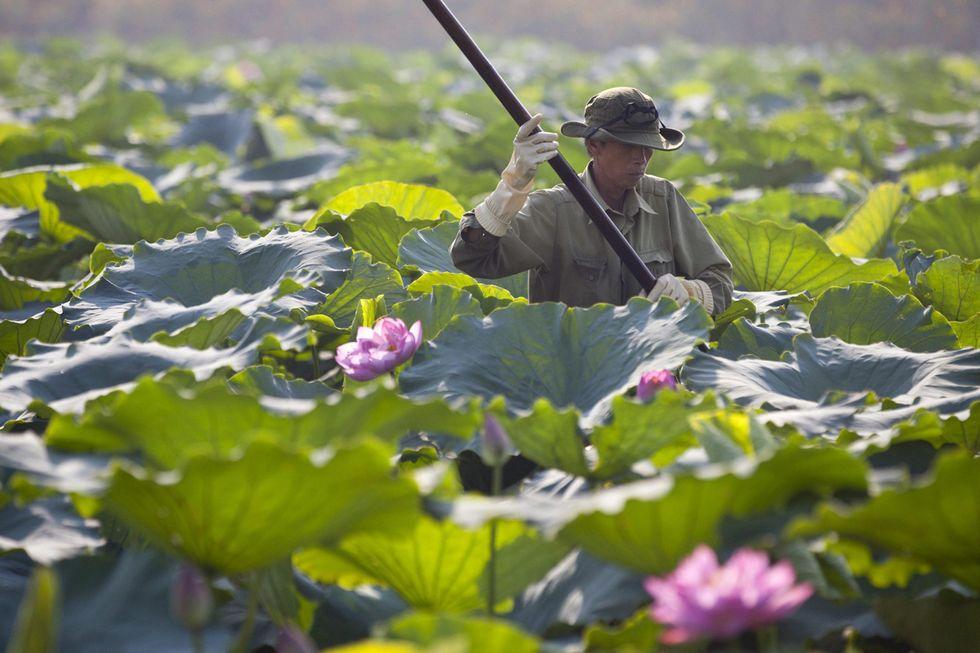 La raccolta dei fiori di loto in Vietnam