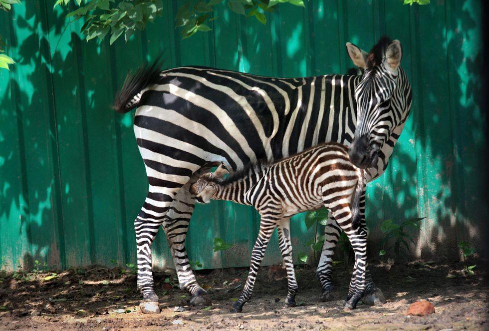 Allo zoo di Calcutta è nata una zebra