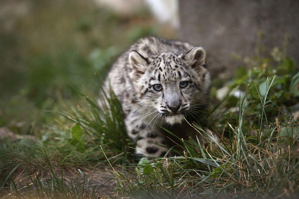 Un piccolo leopardo delle nevi in Illinois