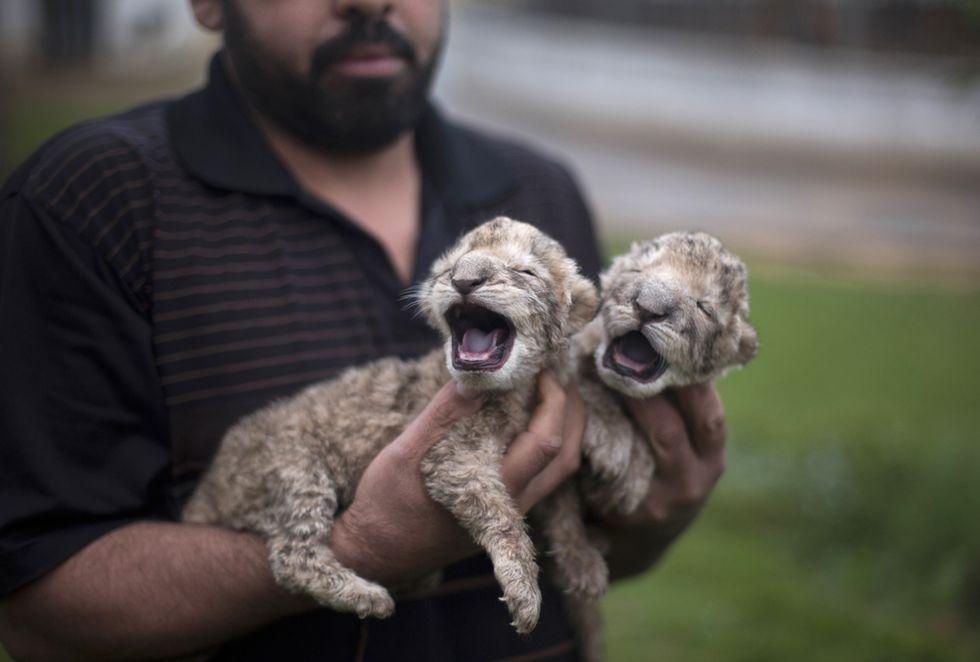 Due leoncini nati nella Striscia di Gaza