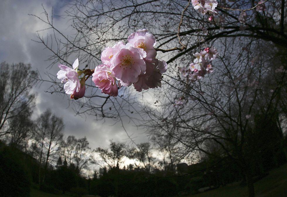 Ciliegi in fiore a gennaio e altre foto del giorno, 8.1.2014