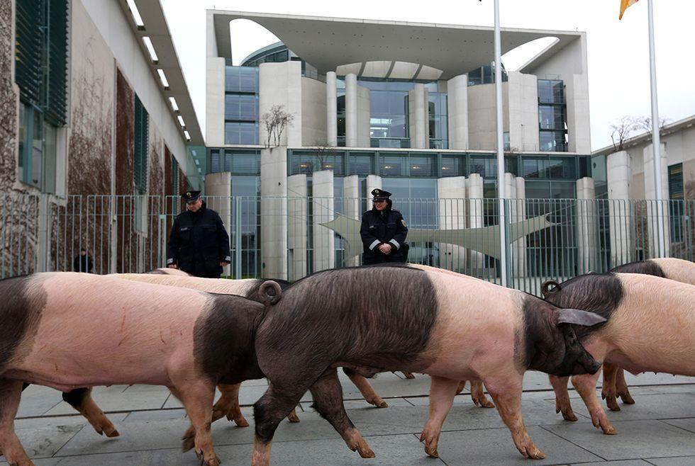 Maiali davanti alla Cancelleria tedesca e altre foto del giorno, 15.1.2014