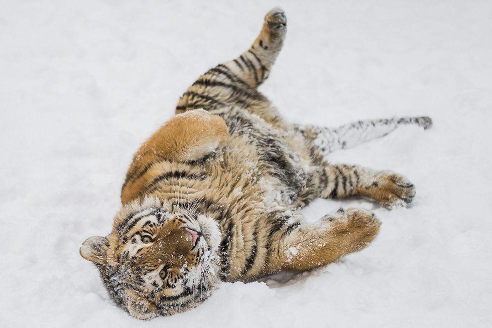 La festa della neve per una tigre siberiana