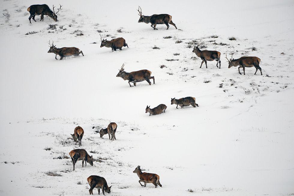 Cervi nella neve in Scozia