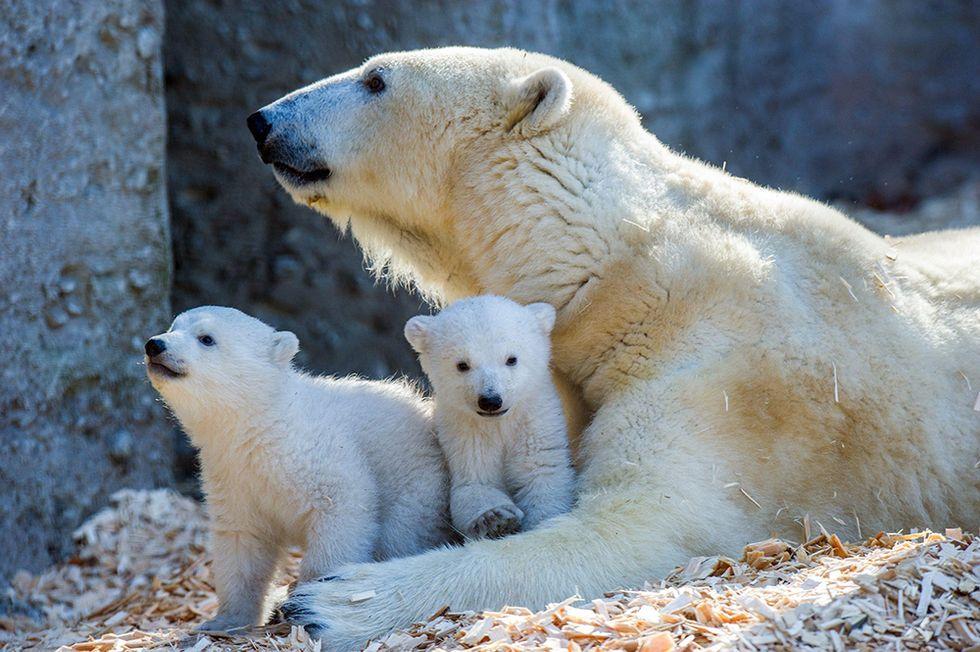 Giovanna l'orsa bianca e i suoi due cuccioli