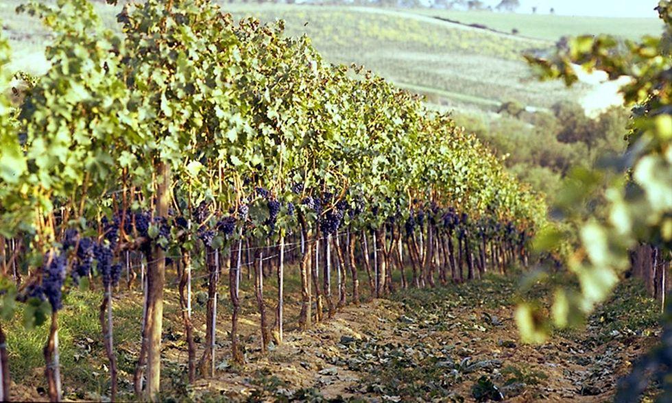 Vigne millenarie sotto il vulcano