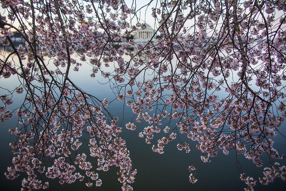 I ciliegi di Washington in fiore