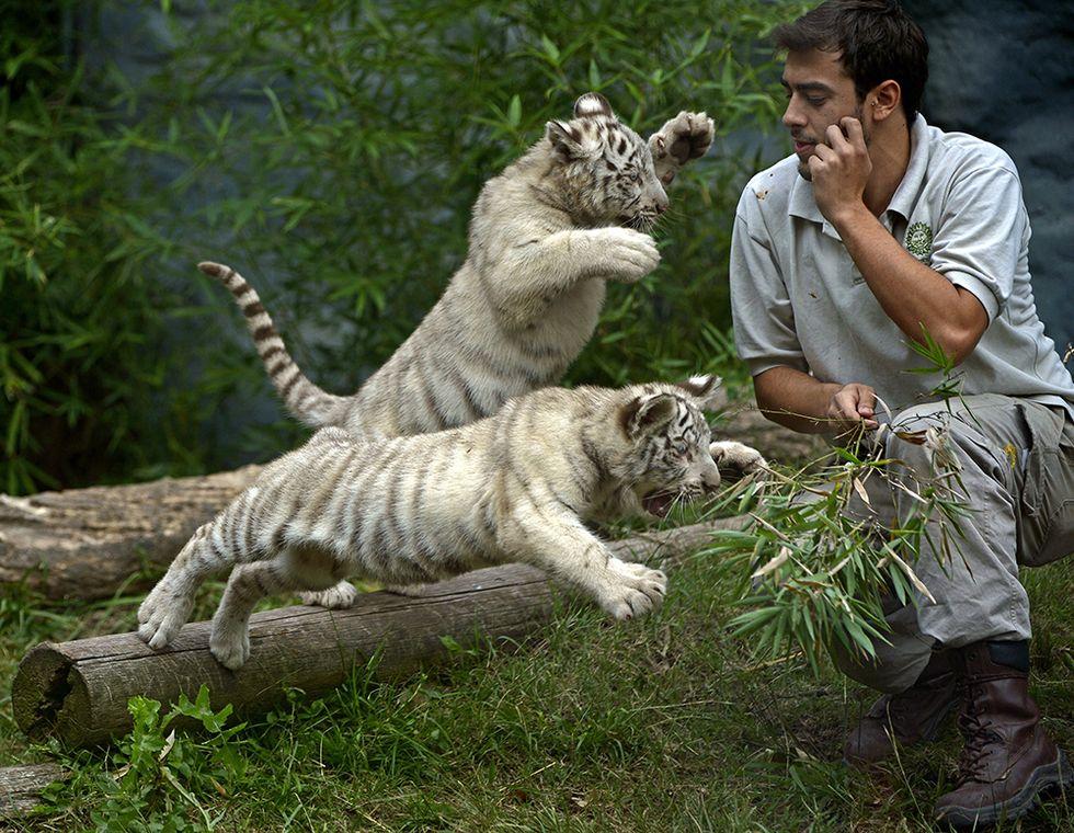 Tigrotti bianchi allo zoo di Buenos Aires