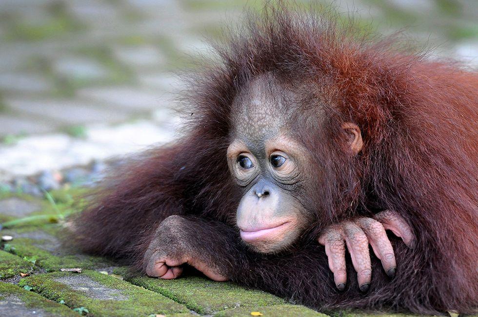 Due piccoli oranghi del Borneo tornano nella foresta