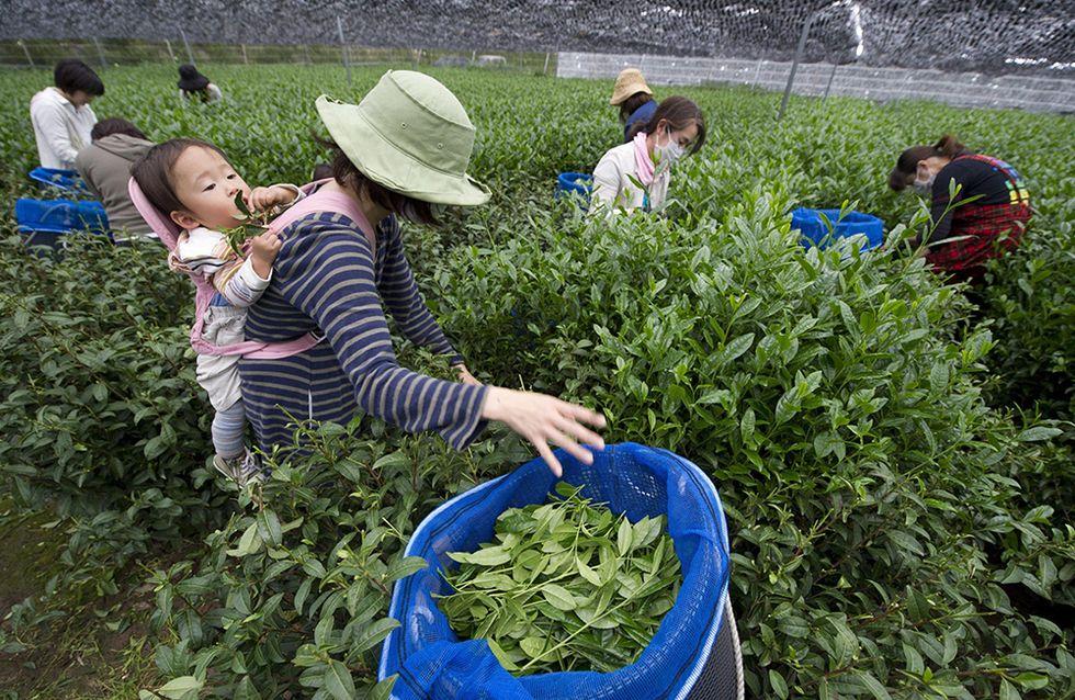 La preparazione del matcha, il tè verde giapponese