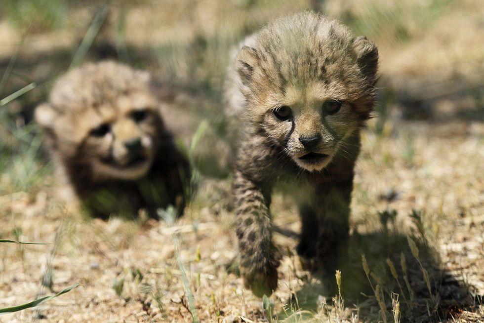 Due piccoli ghepardi nati allo zoo dell'Attica