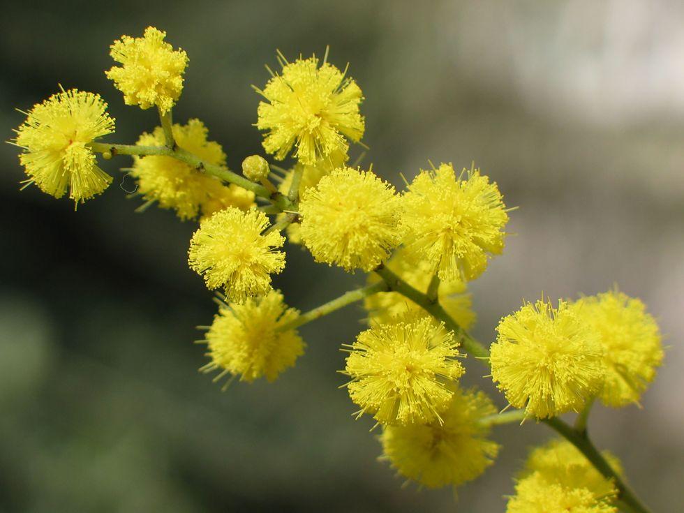 Mimosa_8_marzo.jpg