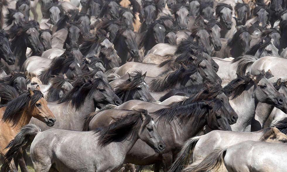 Cavalli selvatici di Dülmen