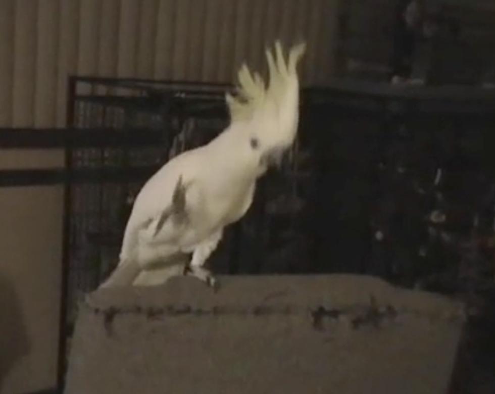 Snowball, il pappagallo che balla: ora gli scienziati lo studiano