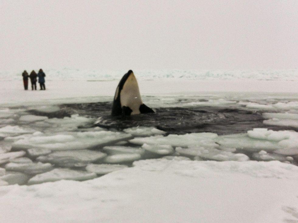 Orche intrappolate nel ghiaccio: finalmente libere
