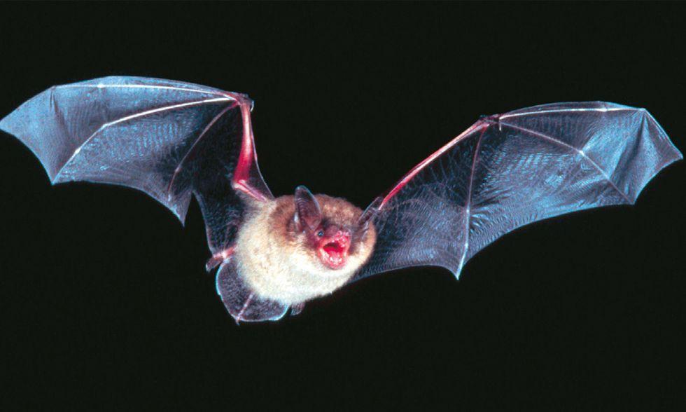 Il pipistrello è l'animale più pericoloso al mondo