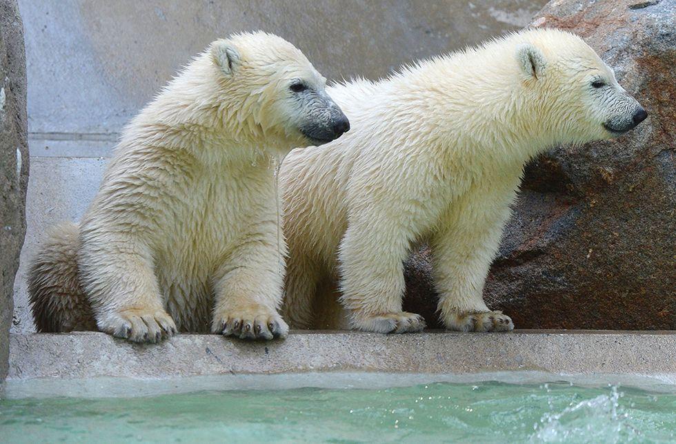 Gli orsetti polari dello zoo di Monaco