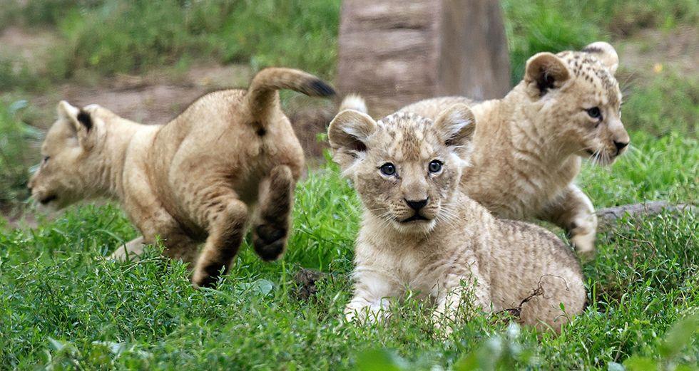 I leoncini berberi dello zoo di Hannover