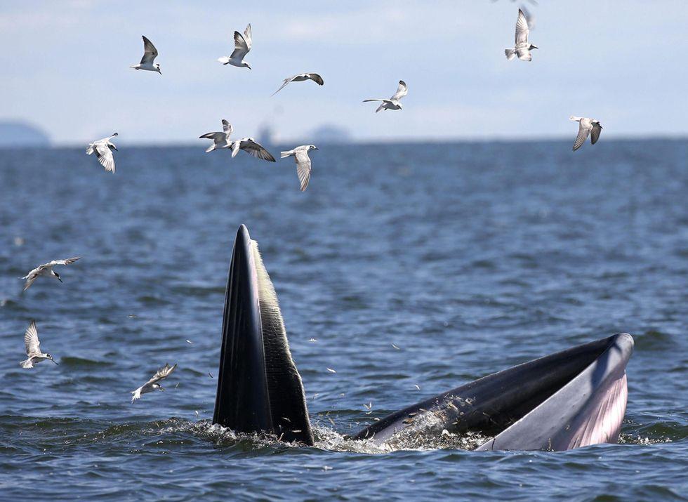 Il pranzo di una balena nel Golfo del Siam