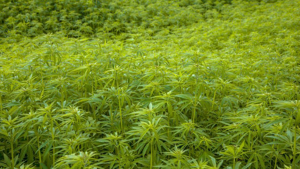 Ecco la supermarijuana, è 400 volte più potente