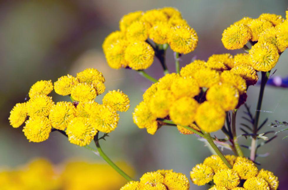 Artemisia e tumori, le 10 cose da sapere