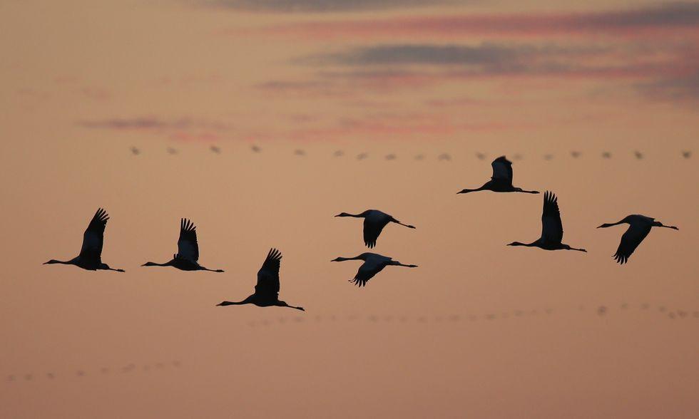 La migrazione delle gru