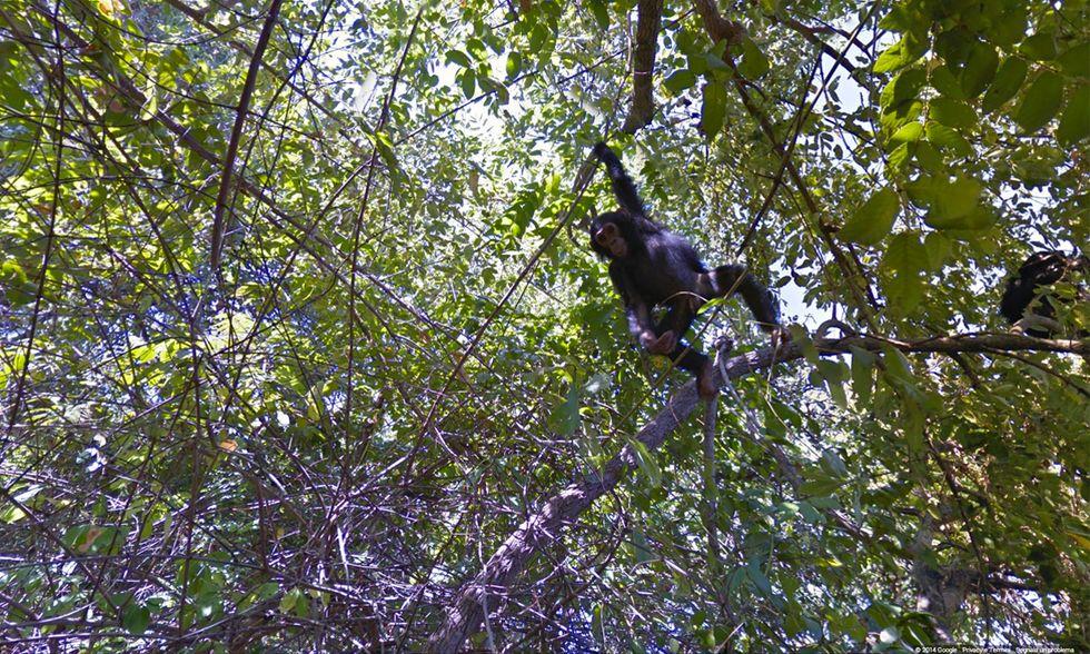 Google Street View tra gli scimpanzé in Tanzania