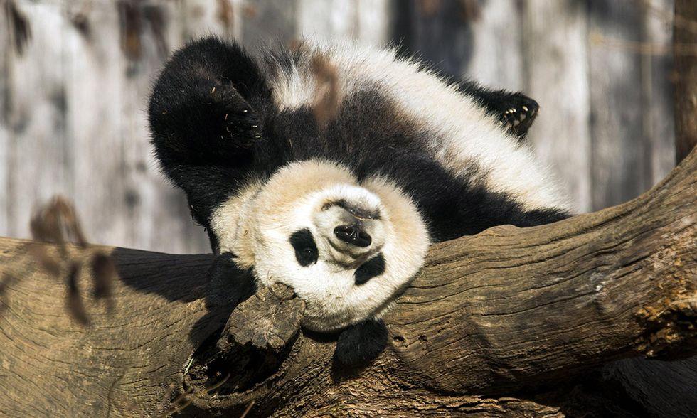 Il panda gigante Bao Bao