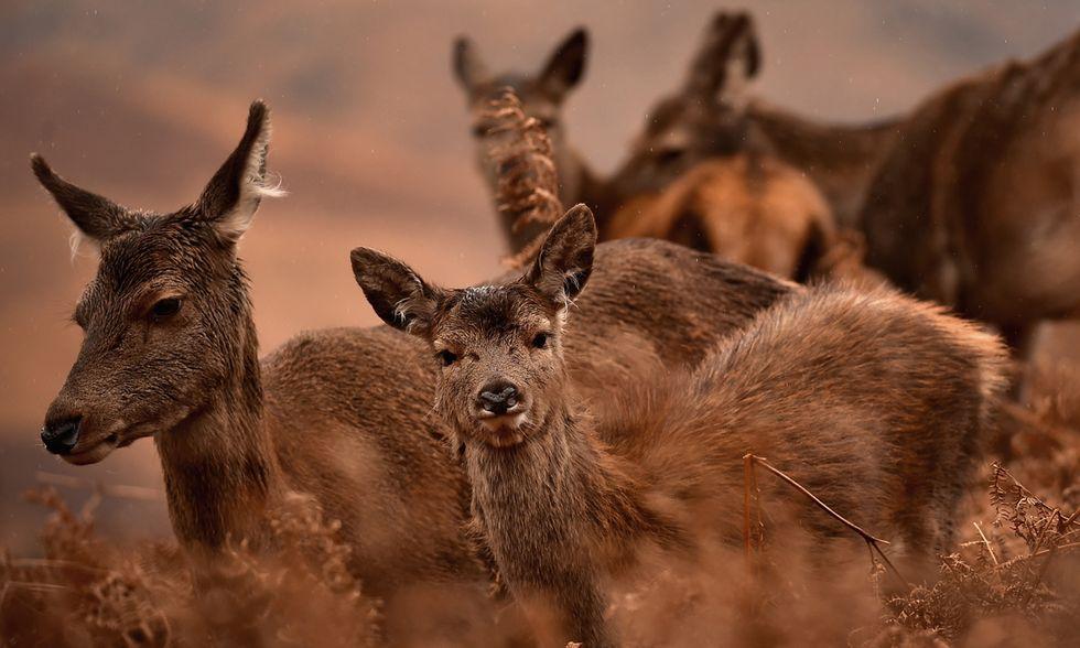 I cervi rossi di Scozia
