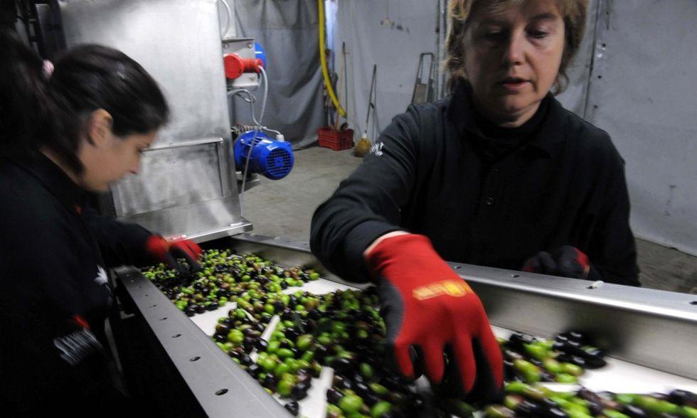 Olio d'oliva: perché quello italiano è sotto attacco