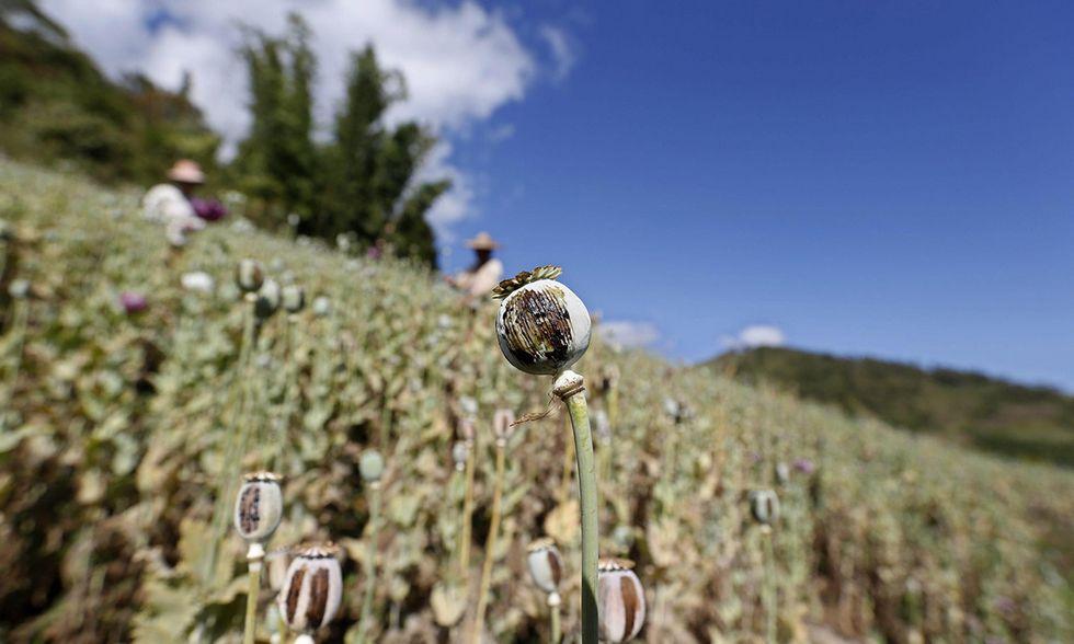 Il boom della produzione di oppio in Afghanistan