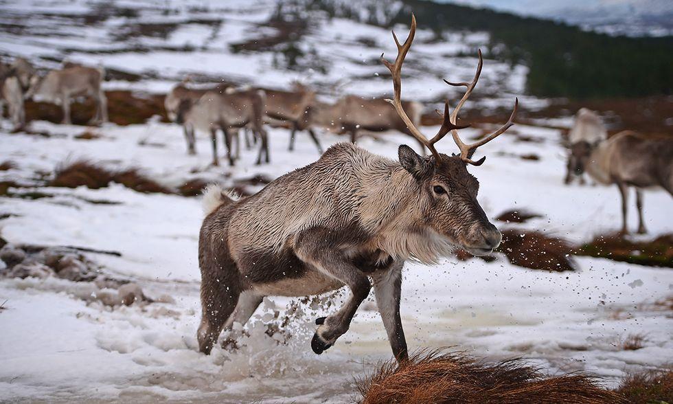 Il centro delle renne in Scozia