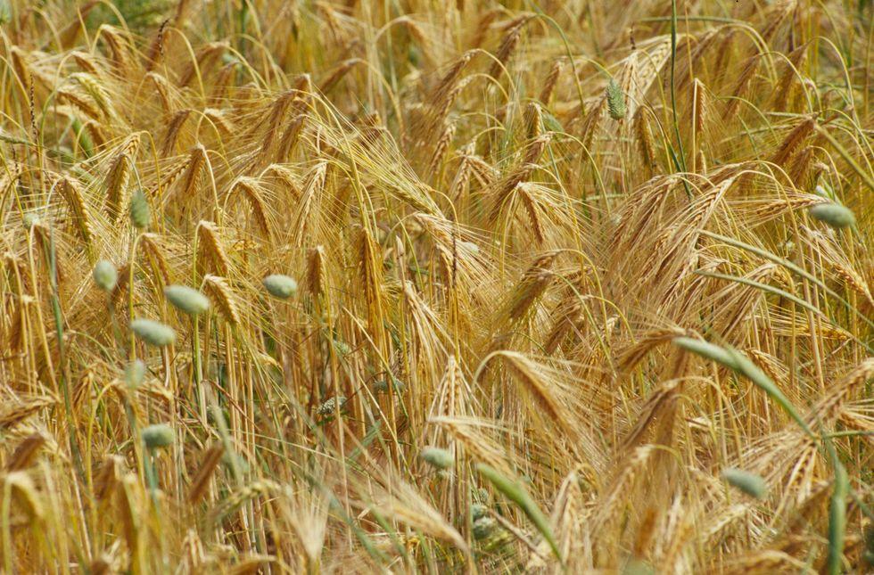 Cereali, è allarme boom dei prezzi
