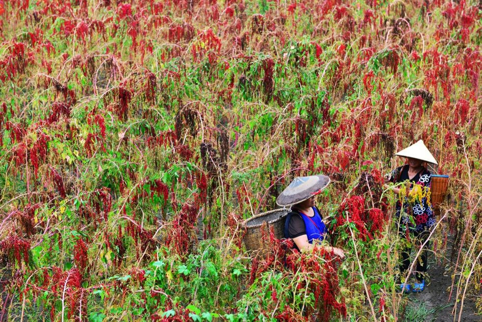 quinoa cina agricoltura