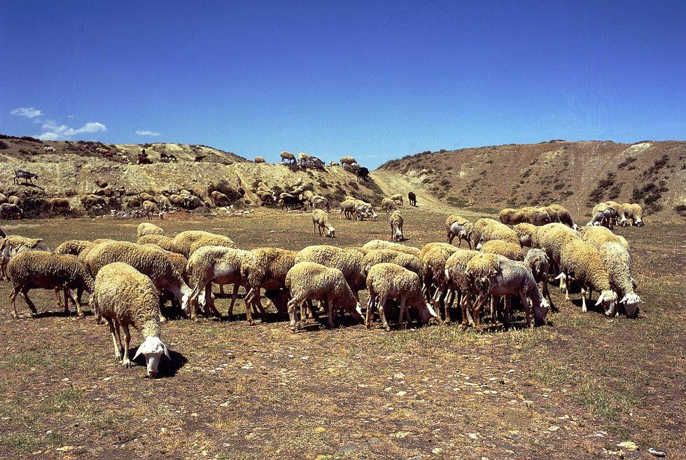 I pastori sardi come i trafficanti colombiani?