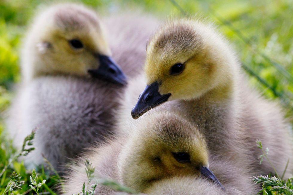 Hollande in difesa del foie gras, una deliziosa barbarie