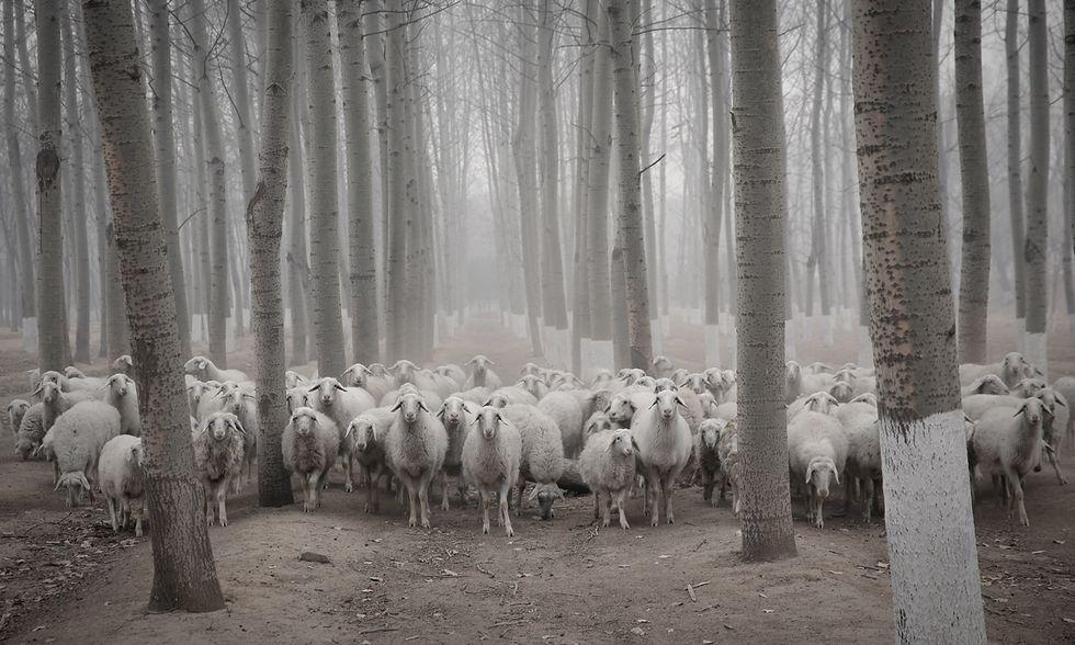 Pecore nello smog a Pechino