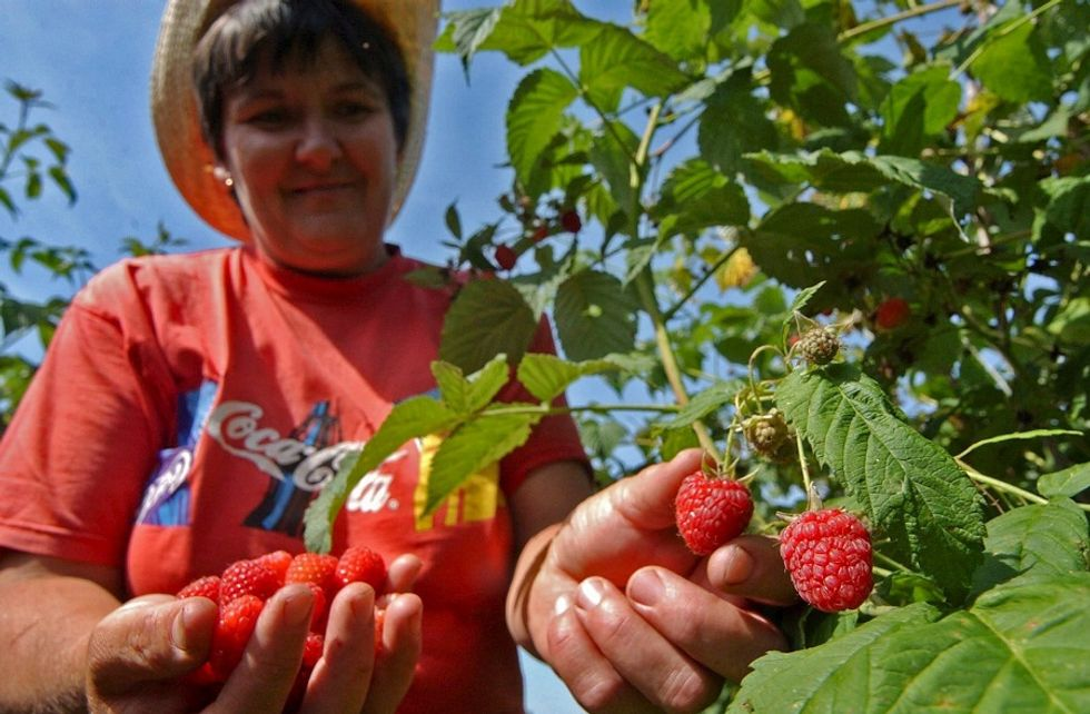 Italian raspberries move to the United Kingdom