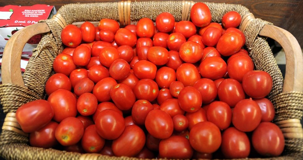 """The first """"Tomato gathering"""" in Italy"""