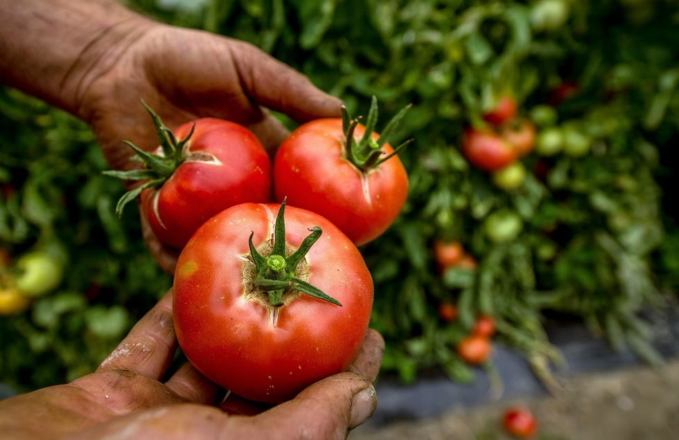 Zero exploitment: turning the tomato industry into a more equitable one
