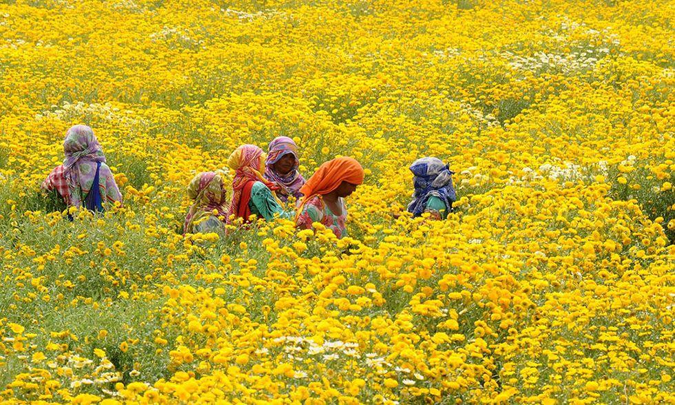 Calendula in fiore in India