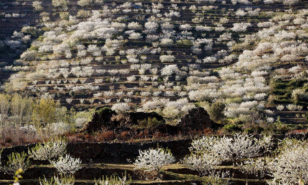 Spagna, i ciliegi in fiore nella Valle del Jerte