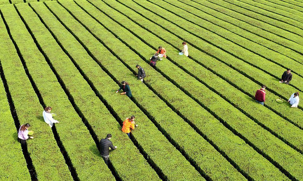 La raccolta del té nella provincia di Hubei, Cina