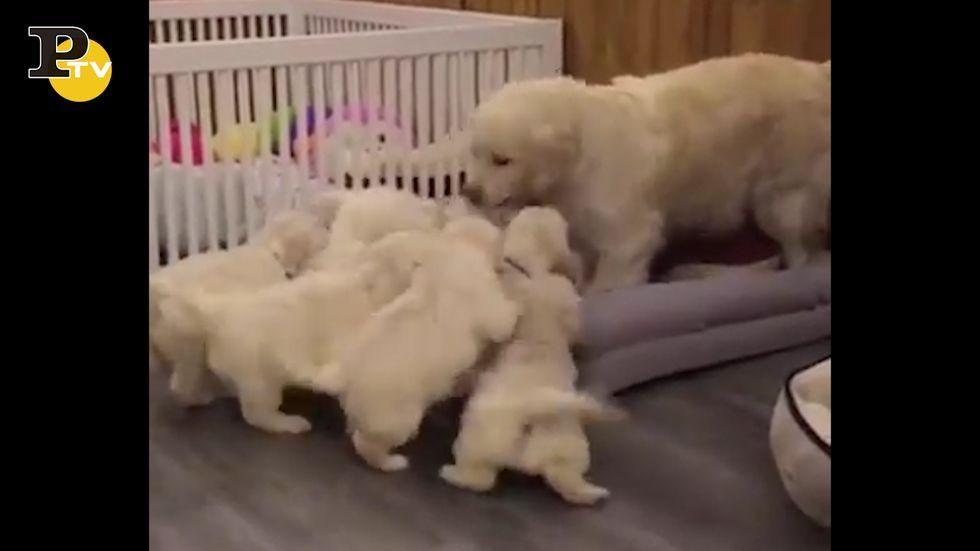 I cuccioli inseguono la mamma in cerca di coccole