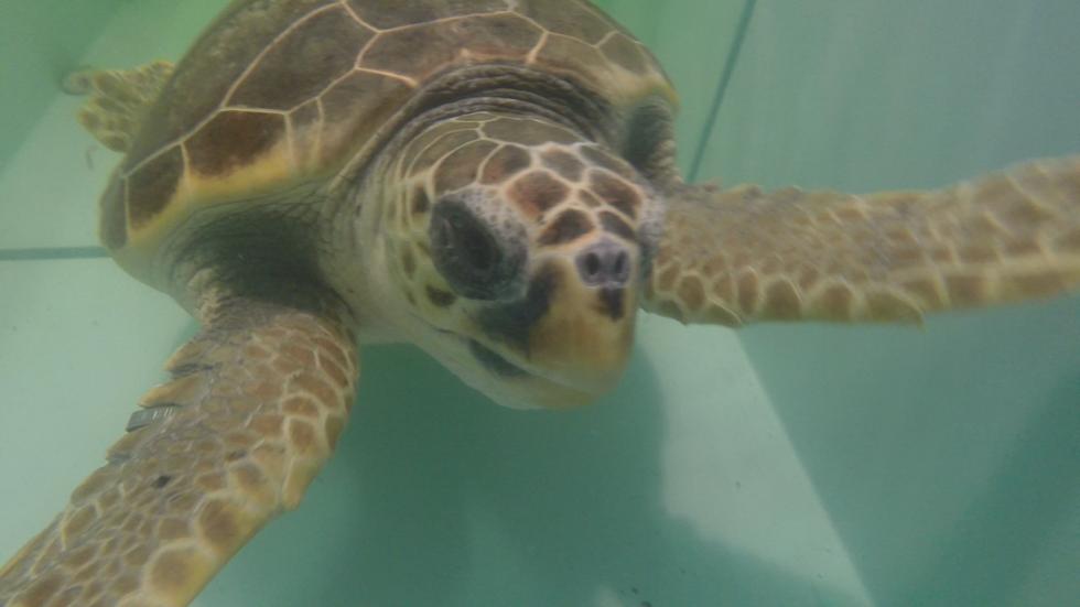 La tartaruga salvata torna in mare