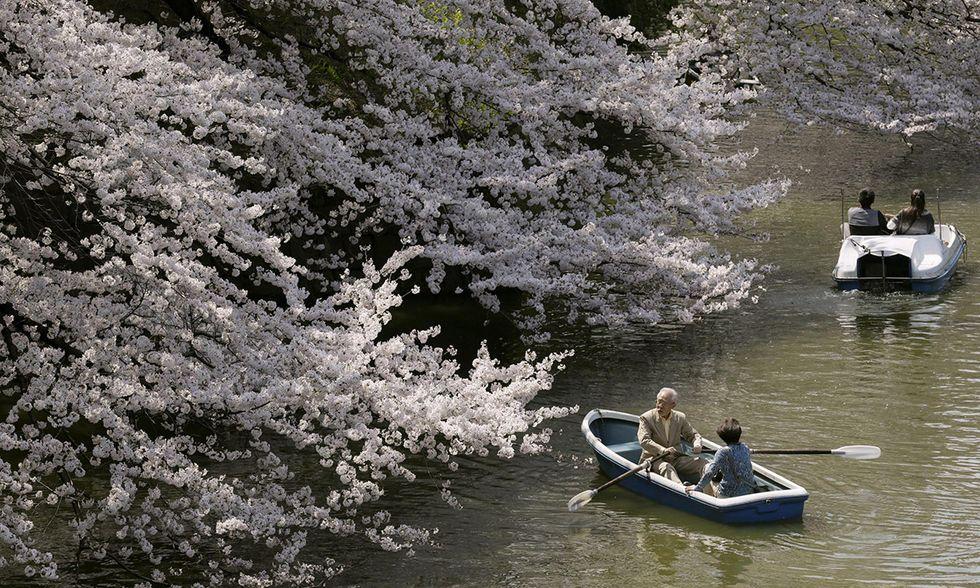 A Tokyo fioriscono i ciliegi: benvenuta primavera