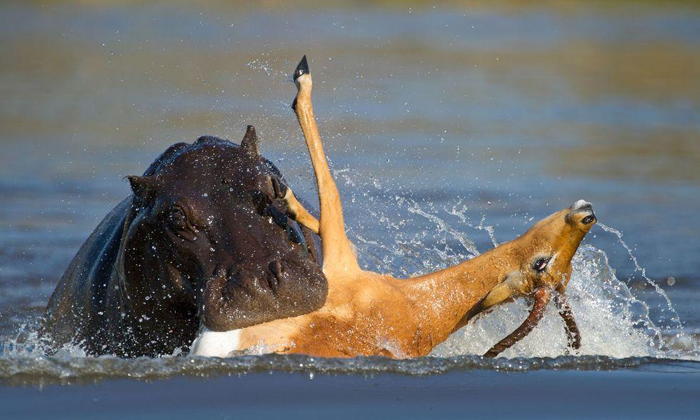 Un impala attaccato da licaoni e ippopotami