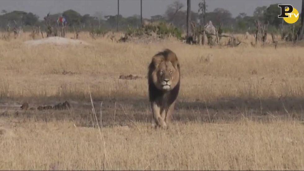 cecil-leone-hwenge-zimbawe-dentista-cacciatore-palmer
