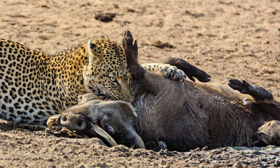 Leopardo all'attacco di un facocero