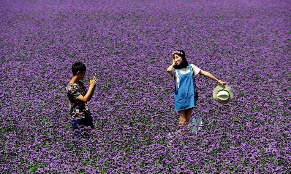 Cina, campi di lavanda